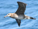 A closeup of an albatross flying above the ocean