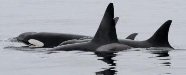 Orcas swim in grey water